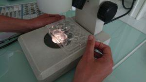 Observation d'une microplaque à la loupe binoculaire