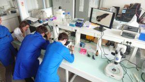 Observation des stades de développement du poisson zèbre